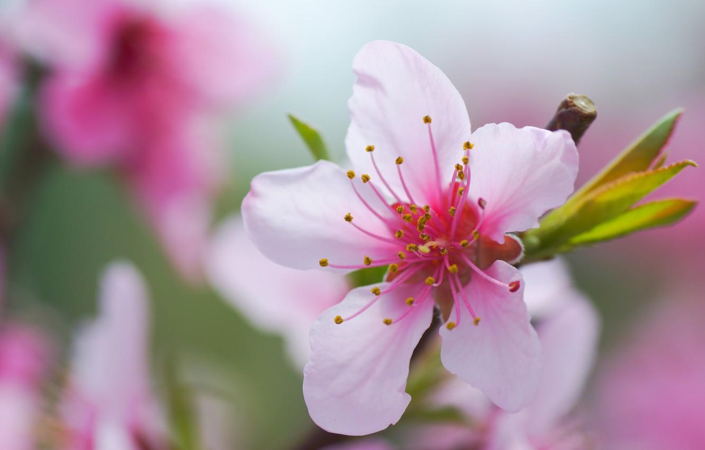 Фото обои цветок, макро, лепестки, цветение, боке, Миндаль