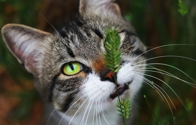 Фото обои глаз, фон, мордашка, котейка