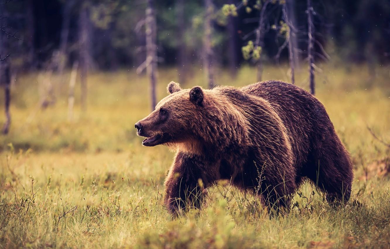 Фото обои лес, трава, взгляд, деревья, природа, поза, фон, стволы, поляна, лапы, медведь, мишка, пасть, прогулка, идет, …