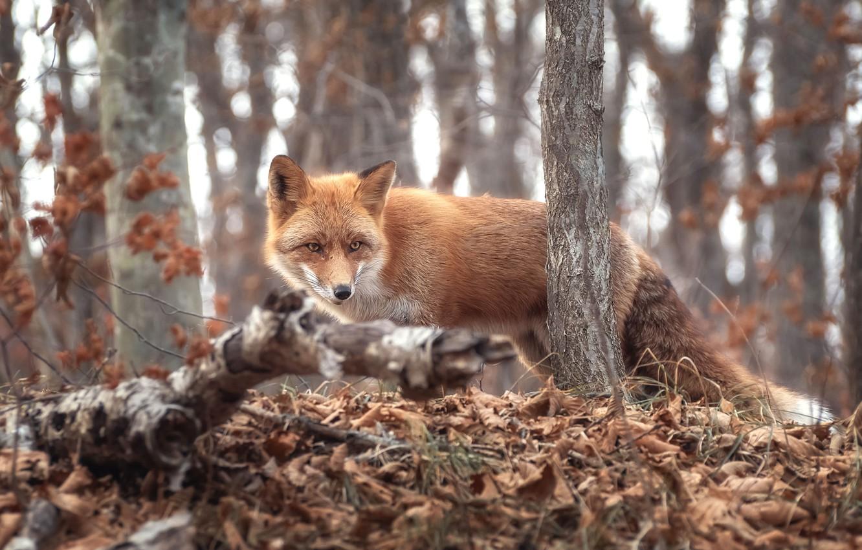 Фото обои осень, лес, трава, деревья, ветки, природа, животное, листва, лиса, лисица