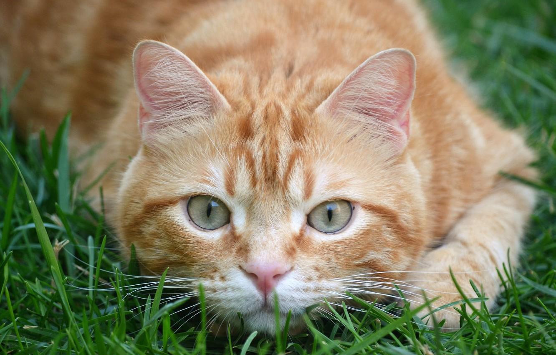 Фото обои трава, кот, взгляд, рыжий, мордочка, котейка