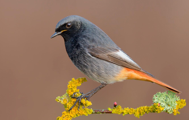Фото обои птица, ветка, bird, горихвостка