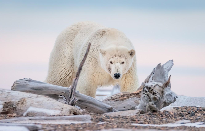 Фото обои медведь, Аляска, коряга, белый медведь, полярный медведь