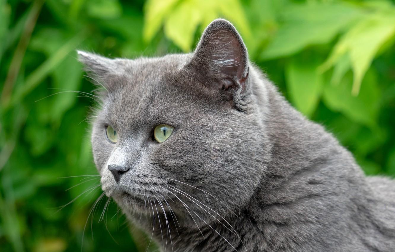 Фото обои кот, взгляд, британец