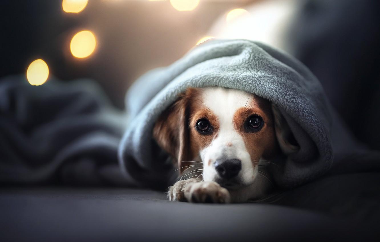 Фото обои взгляд, морда, собака, плед