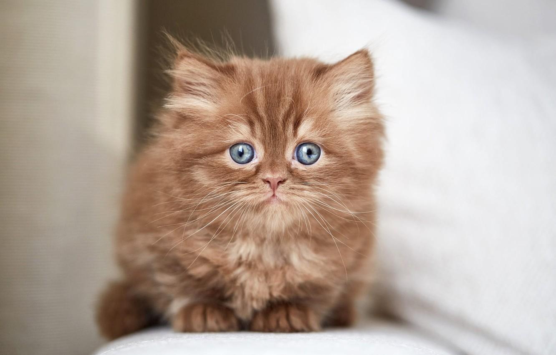 Фото обои кошка, взгляд, котенок, портрет, мордочка, котёнок, сидит, светлый фон, британский, шоколадный, голубоглазый