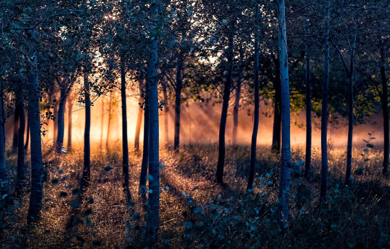 Фото обои лес, деревья, солнечный свет