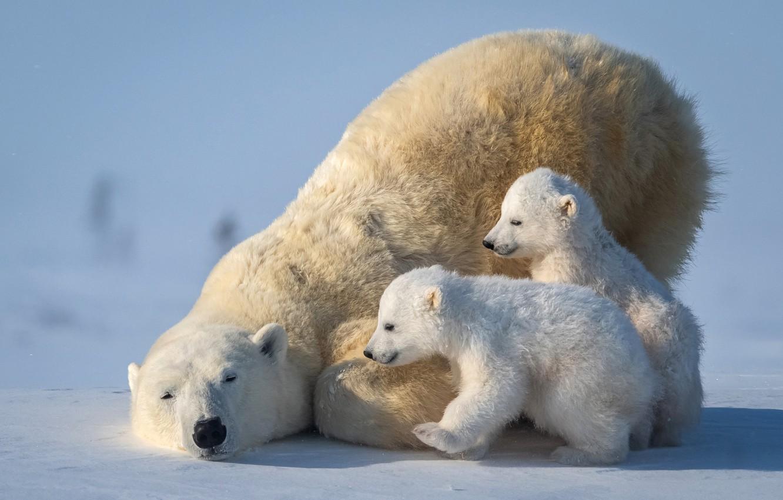 Фото обои медвежата, белый медведь, Арктика, медведица, polar bear, Arctic, cubs, she-bear