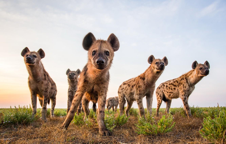 Фото обои небо, природа, Hyenas