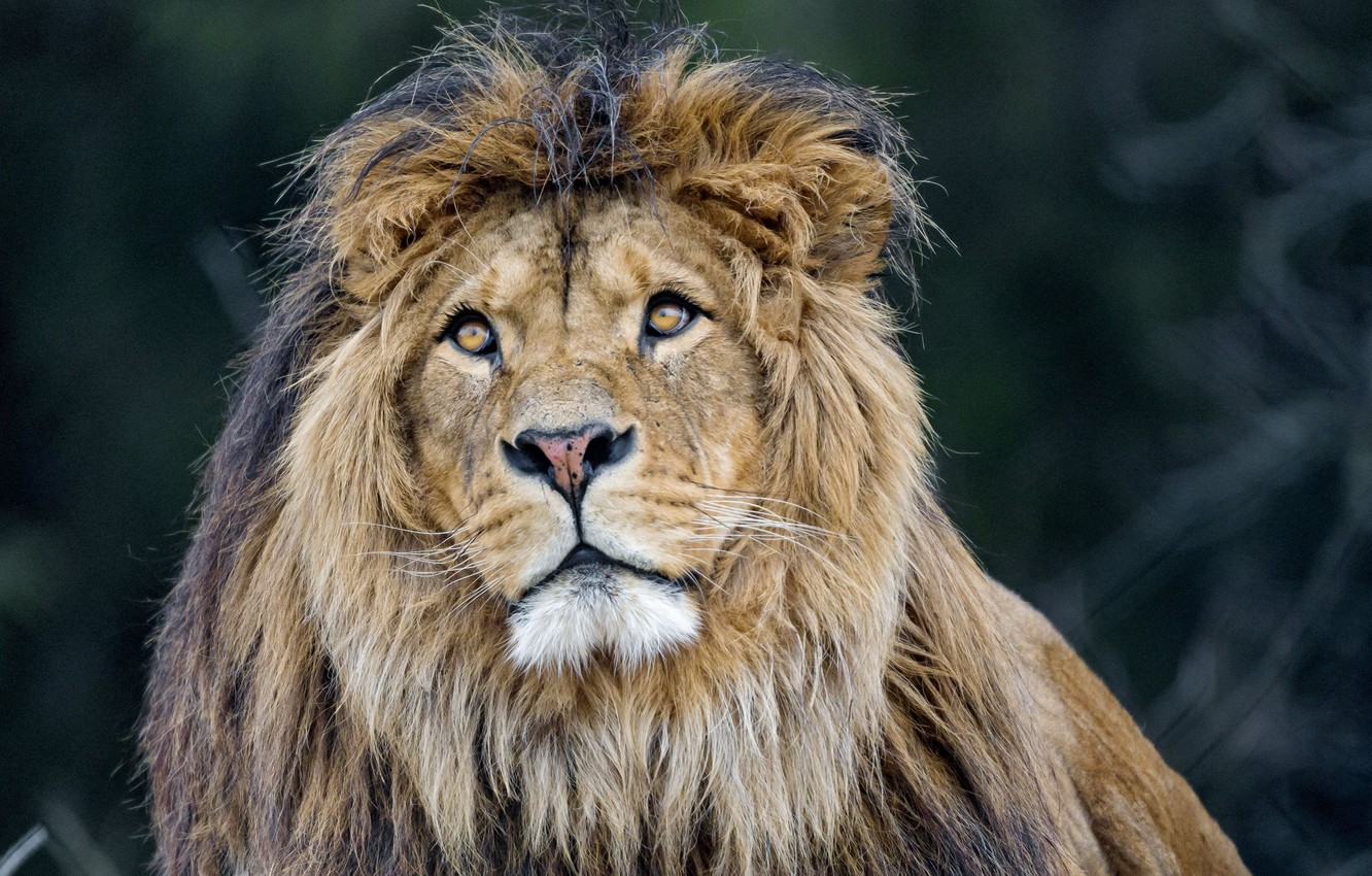 Фото обои lion, predator, king, mane