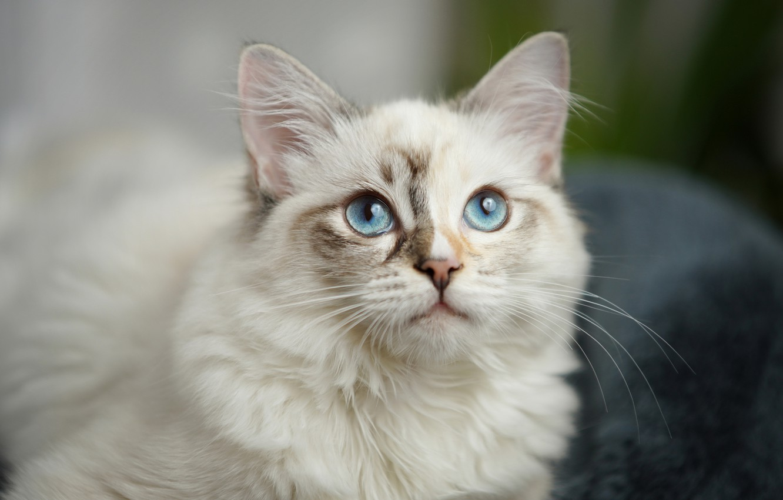 Фото обои кошка, взгляд, мордочка, голубые глаза, пушистая, котейка