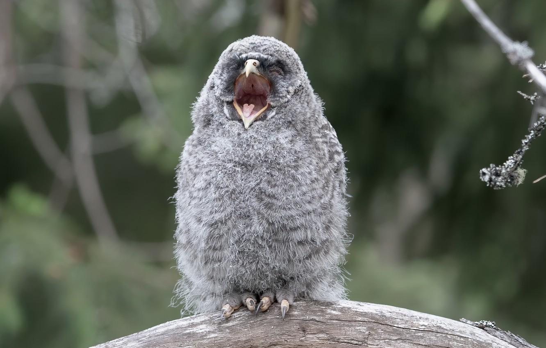 Фото обои природа, фон, птица, Great Grey Owl kid