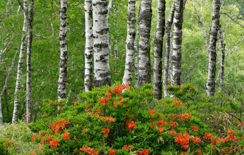 Фото обои лес, лето, деревья, берёзы, цветение, кусты, азалия