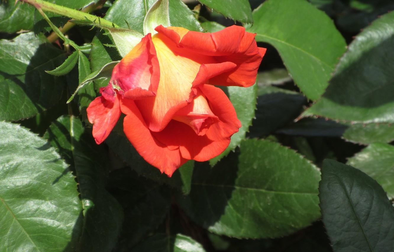 Фото обои листья, цветы, роза, Mamala ©, лето 2018