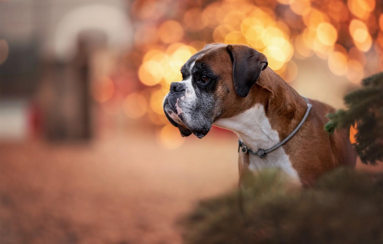 Фото обои морда, блики, портрет, собака, профиль, Боксёр