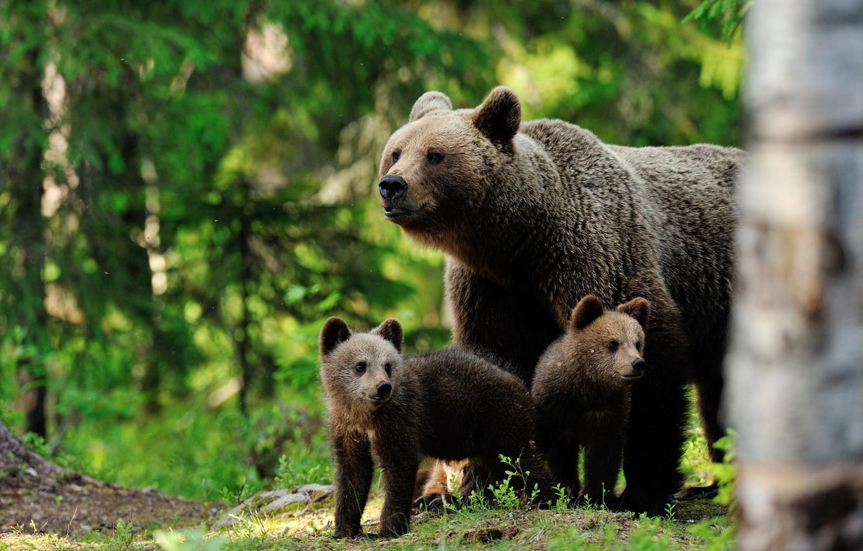 картинки медведица и три медвежонка фото симпатичные трусишки
