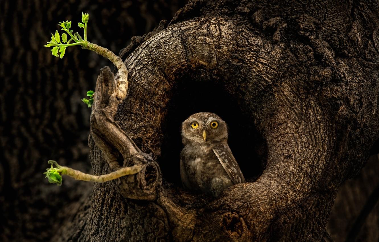 Фото обои дерево, сова, дупло