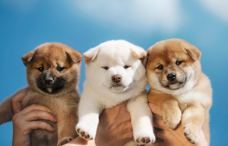 Фото обои собаки, фон, щенки, малыши, трио, троица, Сиба-ину, пёсики, Эрика Цогоева