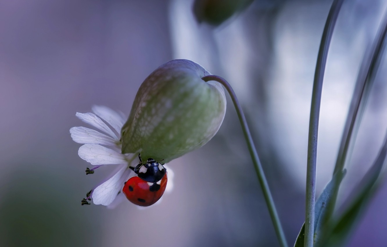 Фото обои цветок, макро, природа, божья коровка, жук, Rina Barbieri