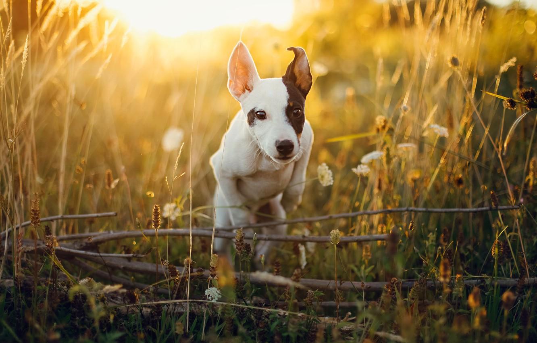 Фото обои поле, лето, трава, свет, ветки, прыжок, собака, луг, щенок, цветочки, мордашка, солнечно, пятно, прыгает, резвится, …