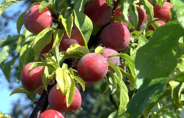 Фото обои ветка, КАПЛИ, фрукты.слива