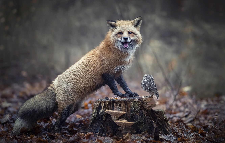 Фото обои осень, лес, природа, животное, сова, птица, листва, грибы, пень, лиса, птенец, лисица, совёнок