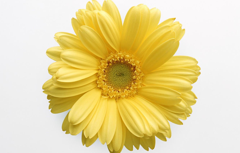 Фото обои цветок, жёлтый, белый фон