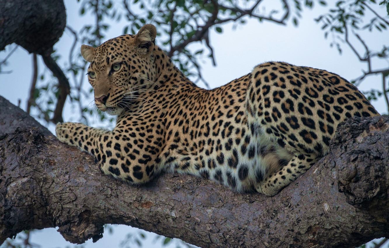 Обои на дереве, отдых, дикая кошка, леопард, африка, Хищник, лежит. Животные foto 17