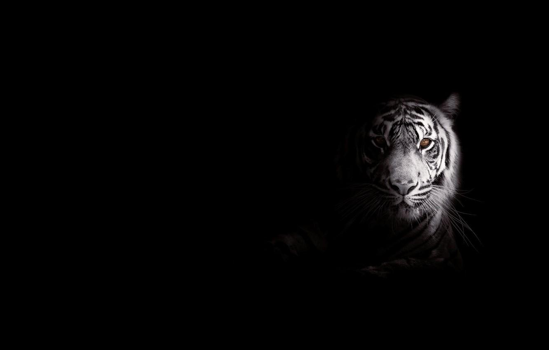 Фото обои полоски, тигр, хищник, большая кошка, фоо