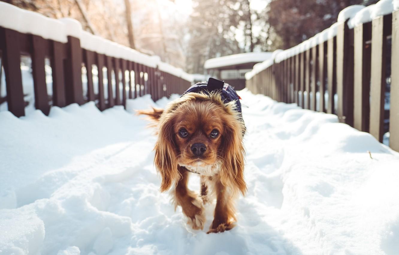 Фото обои зима, снег, мост, собака, утро, bridge, dog, winter, snow, morning