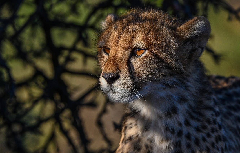 Фото обои морда, портрет, гепард, дикая кошка