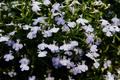 Картинка цветы, синий, природа