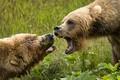 Картинка зелень, лето, трава, взгляд, природа, портрет, медведь, пасть, пара, клыки, агрессия, два, морды, злые, рык, ...