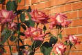 Картинка цветы, розы, Mamala ©, лето 2018