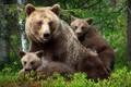 Картинка семья, малыши, медвежата, мама, медведица