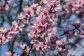 Картинка ветки, дерево, сакура, цветки